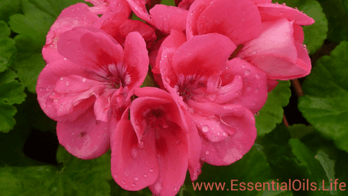 All about geranium essential oil... what it is, ideas on how to use it, diffuser recipes, and DIY fun